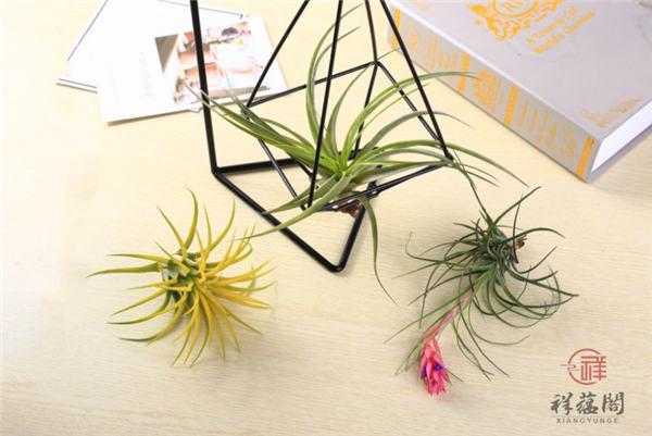 【凤梨花的养殖方法】凤梨花的养殖方法及注意事项